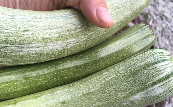 Courgettes-from-Gardd-Sadwrn