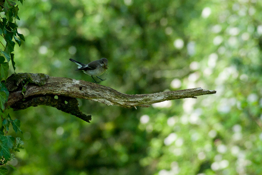 Female pied flycatcher with nesting material in Llansadwrn