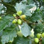 Penny Mayes / Acorns of the sessile oak / CC BY-SA 2.0